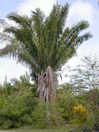 le palmier à tagua
